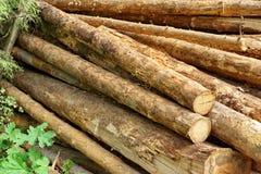 Woodpile del pino aserrado y registros Spruce para la industria de la silvicultura Fotos de archivo