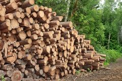 Woodpile del pino aserrado y registros Spruce para la industria de la silvicultura Foto de archivo libre de regalías