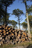 Woodpile in forest Stock Image