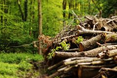 Woodpile in the forest. With green trees around royalty free stock photography