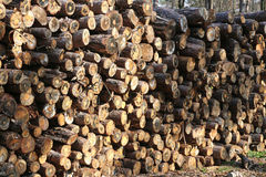 Woodpile of freshly cut lumber awaiting distribution. Freshly cut pine tree logs in forest outdoors Royalty Free Stock Image
