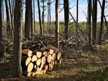 Woodpile of freshly harvested pine logs in the forest near a cozy cottage royalty free stock images
