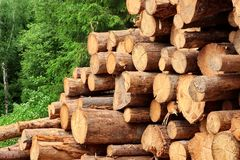 Woodpile From Sawn Pine And Spruce Logs For Forestry Industry. Landscape With Large Woodpile In The Summer Forest From Sawn Old Big Pine And Spruce De-Barcked royalty free stock photo