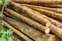 Woodpile From Sawn Pine And  Spruce Logs For Forestry Industry Stock Photos