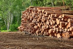 Woodpile From Sawn Pine And  Spruce Logs For Forestry Industry Royalty Free Stock Image