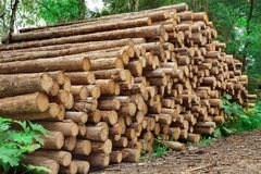 Woodpile From Sawn Pine And  Spruce Logs For Forestry Industry Stock Photo