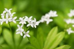 Woodruff στο λουλούδι Στοκ φωτογραφίες με δικαίωμα ελεύθερης χρήσης