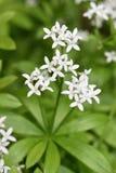 Woodruff στο λουλούδι Στοκ Εικόνα