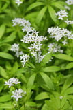 Woodruff στο λουλούδι Στοκ Εικόνες