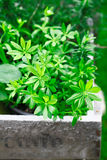 Woodruff Stock Photography
