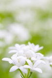 Woodruff blooms Royalty Free Stock Image