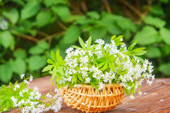 Woodruff, collected in the basket Royalty Free Stock Image