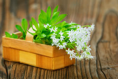 Woodruff, collected in the basket Royalty Free Stock Images