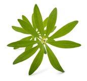 Woodruff (Galium odoratum) Stock Photo