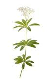 Woodruff Galium odoratum Royalty Free Stock Images