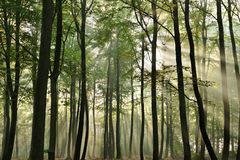 Woods. Morning light breaks through the woods a misty morning Royalty Free Stock Photography