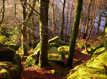 In The Woods. This mossy woodland is transformed by the low setting sun into a beautiful woodland paridise royalty free stock photography