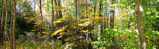The Woods. A panoramic view of the woods in northeastern Ohio royalty free stock image