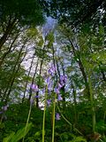 The Woods. Low viewpoint showing , bluebells, trees and ferns Royalty Free Stock Image