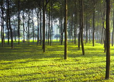 Woods. Early morning's sunlight shines the woods, in the lawn also sprinkles the sunlight, is enchanting Royalty Free Stock Photo