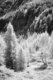Woods in the Alps  Monochrome. Trees on the mountainside taken in infrared monochrome mode black and white Royalty Free Stock Images