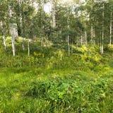 Woods with Aspen tress. Stock Photo