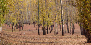 The woods of autumn Royalty Free Stock Image