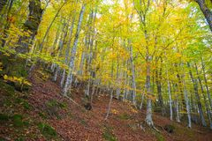 Woods in autumn with coorful leaves beech trees, Italy. Royalty Free Stock Photography