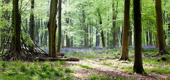 Woods with bluebells and morning light Stock Image