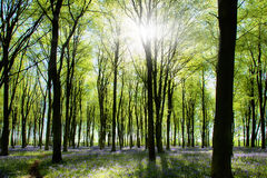 Woods with bluebells and morning light Stock Photography
