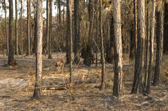 Woods Destroyed by Fire. With pine trees and destruction Stock Image