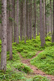 Woods of the Dolomites stock photography