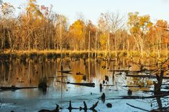 Woods in early winter where beavers have been cutting down trees to build a beaver dam - Yellow trees reflecting in water littered stock photography
