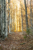 Woods in the evening Royalty Free Stock Images