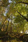 Woods Fisheye. Tall trees deep in the forest with fisheye wide angle lens stock image