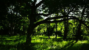 Woods forest, trees background, green nature landscape, lights and shadows, pan stock video
