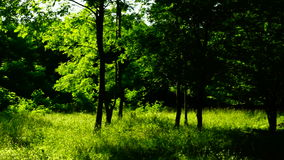 Woods forest, trees background, green nature landscape, sunny grove, august, pan. Trees in forest with bright afternoon sun and rays and sound stock video footage