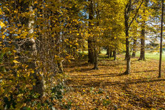 Woods in golden colors. Stock Photo