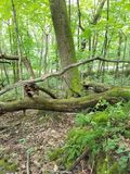 Woods Greenery and Furns. Woods full of greenery with a down tree and furns Royalty Free Stock Images