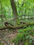 Woods Greenery and Furns. Woods full of greenery with a down tree and furns Stock Images