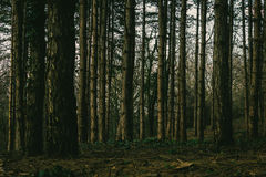 Into The Woods. Hiking through pine woods/forest Stock Photography