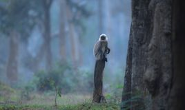 Beside the woods. Langoor on a foggy day from Nagarhole national park Kabini Royalty Free Stock Photography