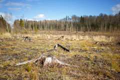 Woods logging  stump after deforestation  woods Royalty Free Stock Image