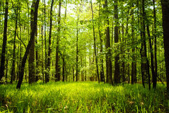 Woods. With lush green grass, trees and sunlight living life to full Stock Photo