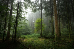 Woods in the mist under Royalty Free Stock Photos