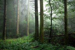 Woods in the mist under Royalty Free Stock Images