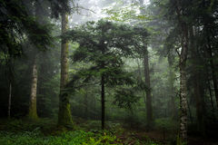 Woods in the mist under Royalty Free Stock Image