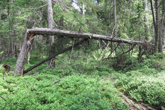 Woods in the Natural Preserve Kladska peats Stock Image