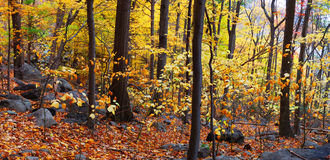 Woods panorama Royalty Free Stock Images