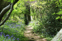 Into the Woods. Pathway through ancient Bluebell Woods in Somerset, UK Royalty Free Stock Images